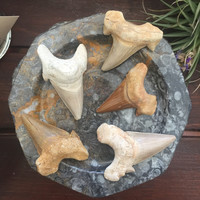 "Fossilized Shark Teeth 2"" - 3"""