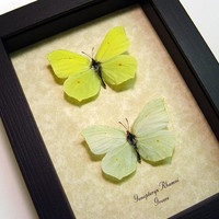 Gonepteryx Rhamni Real Ancient Greece Framed Butterfly Pair 8092P