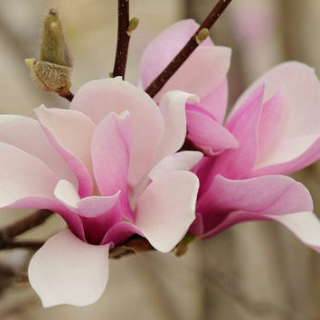 10 Japanese White Pink Magnolia Saucer Flower Seed Ornamental Plant Home Garden Tree Perennials