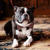 Brown Dog Bow Tie, Bow Attached to dog collar, Brown dog collar