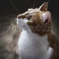 Ginger cat looks upwards and wait on dark rustic background, retro style cat portrait in profile, cat looking up, selective focus