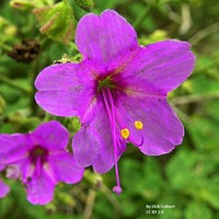 Mirabilis viscosa Seeds £2.25 from Chiltern Seeds - Chiltern Seeds Secure Online Seed Catalogue and Shop