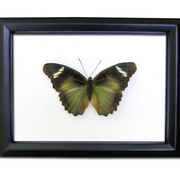 Real Green Butterfly Display