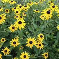 nature - flowers- Black Eyed Susan - photography by Ann Powell