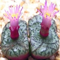 5,000+ Conophytum Species Mix Seeds - Cactus Mix - House Plants cactus cacti succulent For Greenhouse and Outdoor Too - These seeds are VERY small, each pack of seed will contain more than advertised. But if you are uncomfortable working with VERY small se