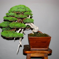Chinese Juniper 5 Seeds, excellent for bonsai use or foliage is great for various crafts! Easy to grow and fully hardy!