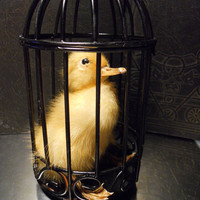 Tiny Fluffy Taxidermy Stuffed Duckling in a Cage by TheCuriositeer