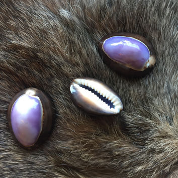 Purple Top Cowrie Shell