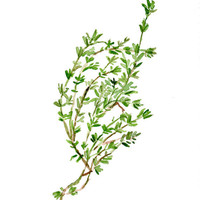 Thyme, original watercolor painting, herb, botanical, green, plant, fresh kitchen decor