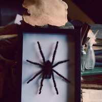 Framed Real Tarantula Display