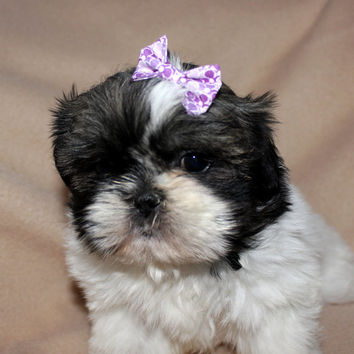 Small Purple Hair Bow for Dogs. Puppy Hairbow for Small Dogs. Lavander Flower Cotton Fabric Top Knot Bow with Hair Elastic. Great for Teacup