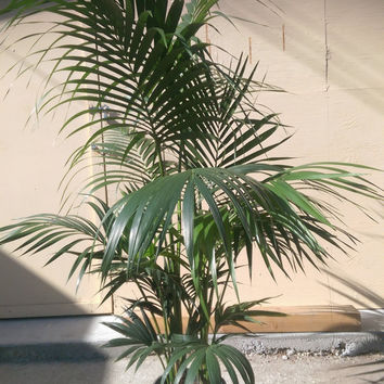 "Kentia Palm Plant in 10"" pot, 60"" tall, Tropical, Howea Forsteriana, Sentry"
