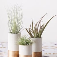 LIVE Air Plants with Concrete Vases Set of 3 - Ships Alone