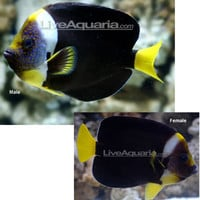 Saltwater Aquarium Fish for Marine Aquariums: False Personifer Angelfish