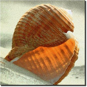 Seashell Bathroom Wall Art Picture of Beach Shell on Stretched Canvas, Ready to Hang!.