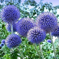 Globe Thistle Blue  Flower Seeds (Echinops Ritro) 30+Seeds
