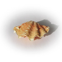 Lovely Decorative Peach Colored Clam Sea Shell