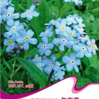 1 Pack 50 seed Woodland Forget Me Not Seeds Nature Fresh Flower Seeds LAUS .S