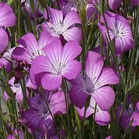 Agrostemma Purple Queen Flower Seeds (Agrostemma Githago) 50+Seeds Zones 4-10