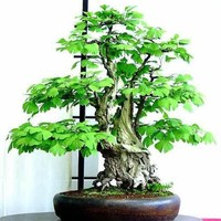Seeds and Things Ginkgo (Maidenhair) 5 Tree Seeds, Great for Penjing and Bonsai