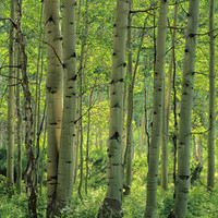 Aspen Forest, Colorado Mural - Charles Gurche| Murals Your Way