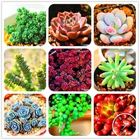 Loss Promotion!99 Kinds Rare Succulents Seeds Lithops Seeds Pseudotruncatella Office Bonsai Plants Flower Seed 100 PCS/Pack,#BHY
