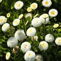 English Daisy White Flower Seeds (Bellis Perennis) 200+Seeds