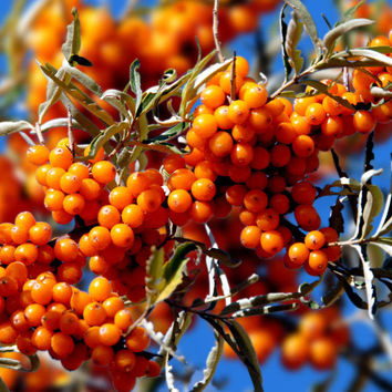 50 Sea Buckthorn Seeds Cold Hardy Hippophae Rhamnoides Fruit Landscape Bonsai Easy To Grow Home Garden Plant