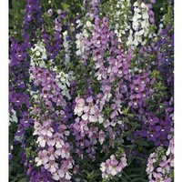 Shop 9-Pack Angelonia (L10016) at Lowe's