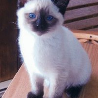 hypoallergenic cats - Google Search