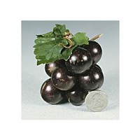 Grape, Muscadine Collection (3 Plants, Ships April-May) | Baker Creek Heirloom Seed Co