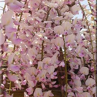 Chinese Pink Wisteria, Very Fragrant, Grow as a Bonsai, Seeds