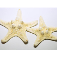 White Knobby Starfish - Hermit Crab Food
