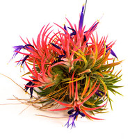 Ionantha Ball - 30 Day Air Plant Guarantee - This air plant explodes with color when it blooms - FAST SHIPPING