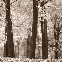 Autumn Forest Scene Wall Mural. Warm Tones, Monotone. #6001