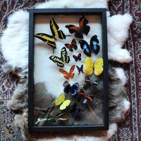 "Mounted Butterfly Collection ""Sweep"""