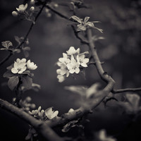 Blossom Print Flowers Black and White Photography