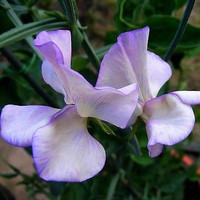 Sweet Pea Royal Lavender Flower Seeds (Lathyrus Odoratus) 25+Seeds