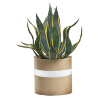 """48"""" Agave Plant, Live, Trees"""