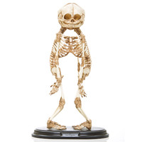 Conjoined A-Baby Skeleton (Replica)
