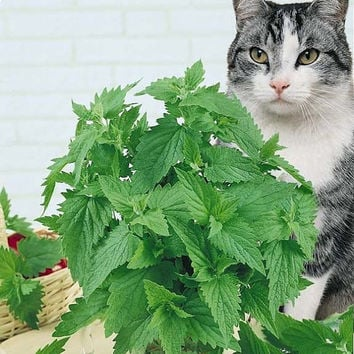 50 Catnip Aromatic Herb Plants Seeds (Nepeta Cataria) Home Garden Plantings Growing