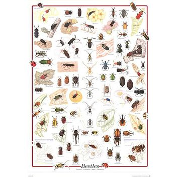 Beetles Coleoptera Insect Education Poster 27x39