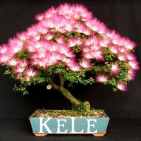 New Arrival !! 20 Seeds/pack bonsai Albizia Flower seeds called Mimosa Silk Tree ,flower potted plants For Garden Home