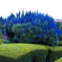 *Pride of Madeira 50 Seeds - Echium fastuosum -Perennial by Seeds and Things