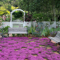 100 Pink Creeping Thyme Flower Seeds | Magic Carpet - Thymus serpyll | Perfect for edging border, rock gardens, walkways, patios, container