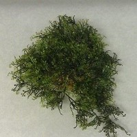 Glosso Moss Plant on One Rock Base Green Plants Aquarium Decorations #188