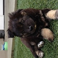 El Segundo, CA - Australian Shepherd/Belgian Shepherd Mix. Meet Bear a Puppy for Adoption.