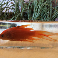 Common Goldfish Paperweight