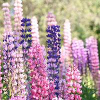 Heirloom 100 SEEDS Lupin Lupinus Lupine Bluebonnet Texas Bluebonnet Mixed Flower S079