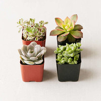 "Assorted 2"" Live Succulents - Set of 4 